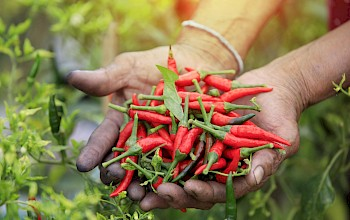 Hot chili peppers - calories, nutrition, weight