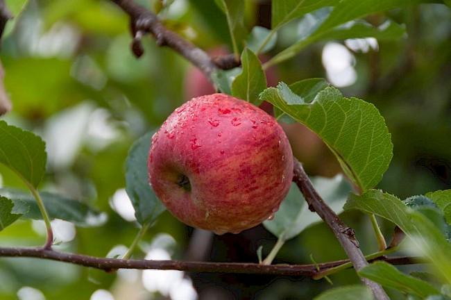 Gala apple - caloies, wieght