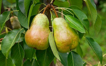 Pear - calories, nutrition, weight