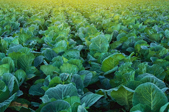 Fodder cabbage - kalorie, kcal, ile waży