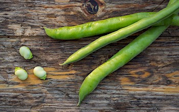 Fava beans - calories, nutrition, weight