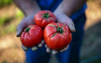 Tomato - calories, nutrition, weight