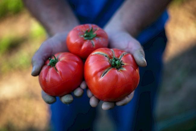 Tomato - kalorie, kcal, ile waży