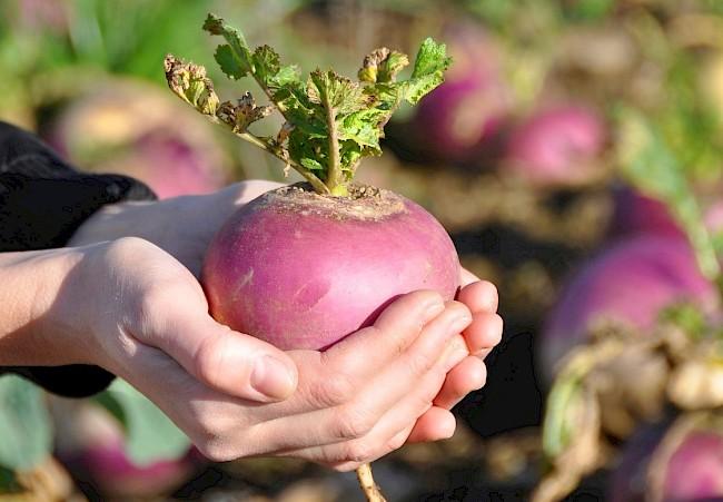 Turnip - kalorie, kcal, ile waży