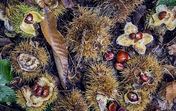 Chestnuts - calories, nutrition, weight